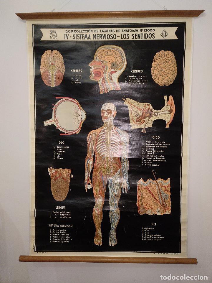 d.c.p. coleccion laminas de anatomia nº13000 iv - Comprar Carteles ...