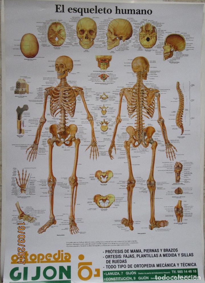 cartel anatomia (70x50) - Comprar Carteles antiguos publicitarios en ...