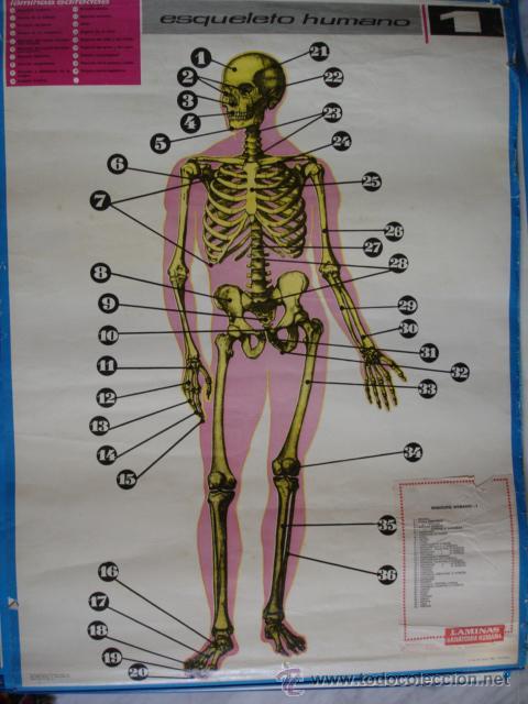 nº 1 esqueleto humano.mural de anatomia humana. - Comprar en ...