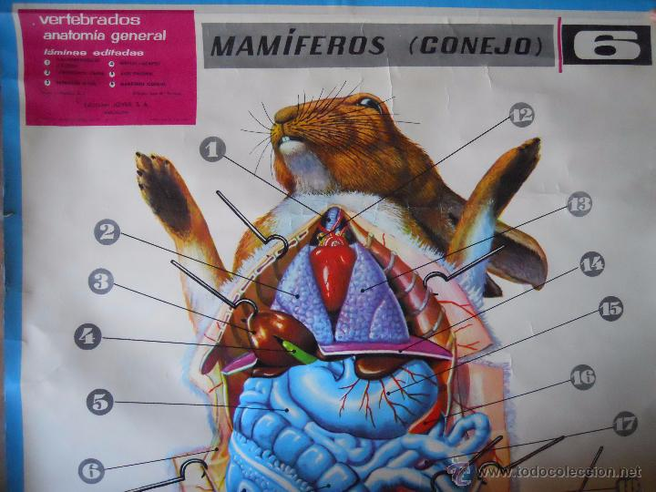 Asombroso Anatomía Genital De Conejo Molde - Anatomía de Las ...