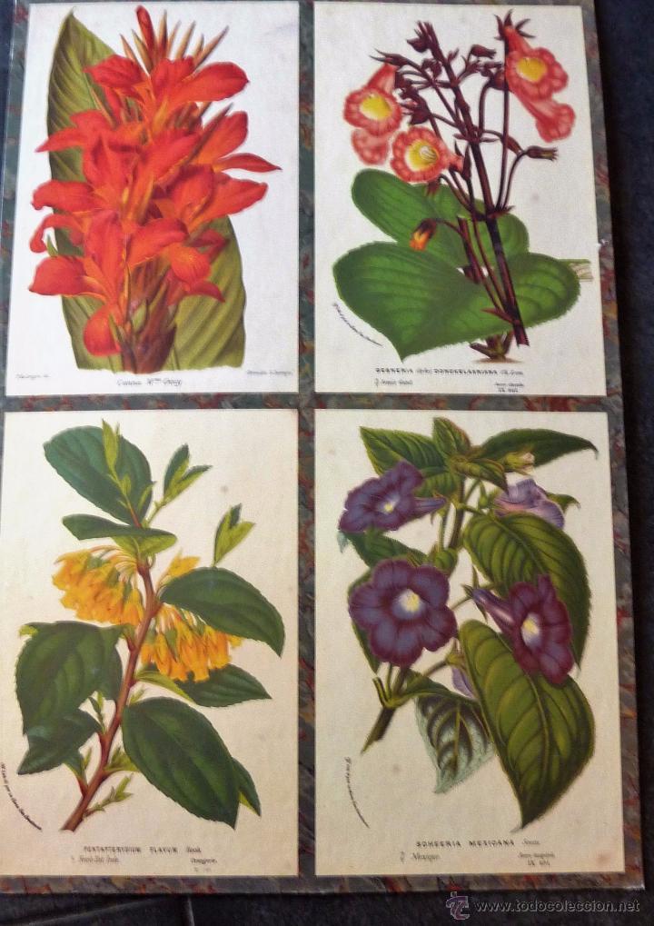 BONITO CARTEL CARTON DURO BOTANICA FLORES . 58 / 34 CM REPRODUCCION DE CROMOLITO ANTIGUO (Coleccionismo - Carteles Gran Formato - Carteles Varios)