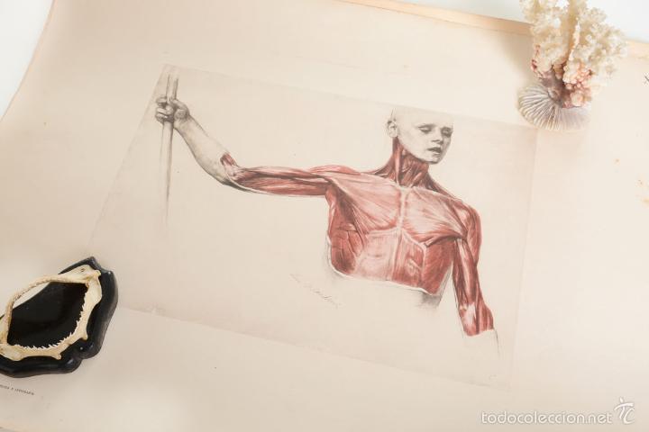 lamina antigua anatomía humana, modelos anatómi - Comprar en ...