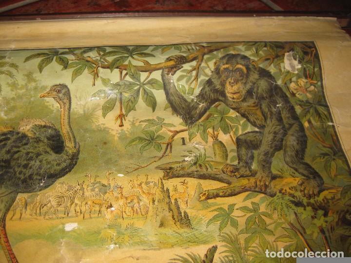 Carteles: muy antiguo cartel lamina mural escolar , cromolitografia entelada germany zoologia . la selva 60/45 - Foto 2 - 62219676