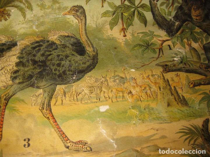 Carteles: muy antiguo cartel lamina mural escolar , cromolitografia entelada germany zoologia . la selva 60/45 - Foto 6 - 62219676