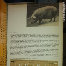 Carteles: ANTIGUA HOJA DE PRENSA CERDOS - LOS PORCINOS . Lote 62658992
