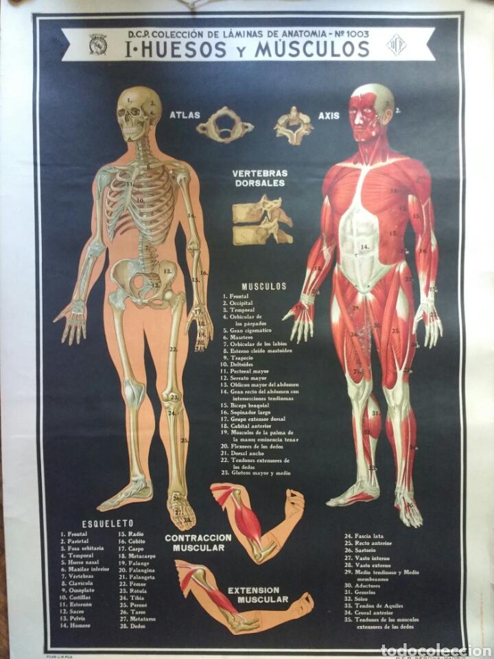 laminas de anatomía n° 1003 i huesos y músculos - Comprar en ...