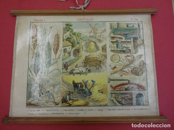 VEGETALES. EL PAN. CARTEL O LÁMINA ENTELADA DE ESCUELA. 48 X 38 CTMS. MUY DECORATIVA. AÑOS 1900S. (Coleccionismo - Carteles Gran Formato - Carteles Varios)