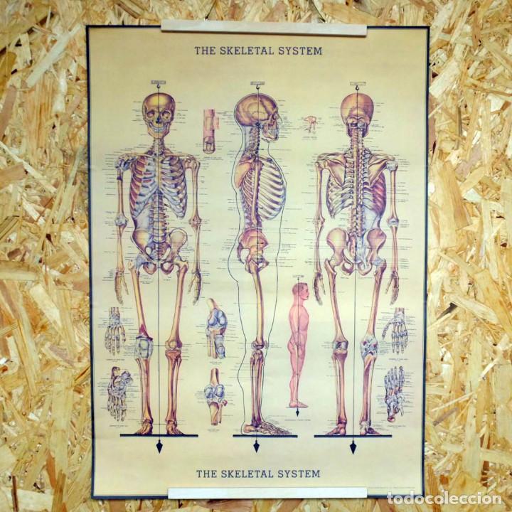 cartel vintage clase anatomía esqueleto 50 cm x - Comprar en ...