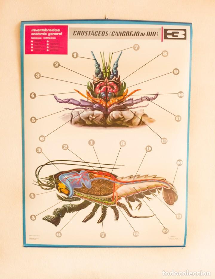 lámina invertebrados anatomía general. nº 3 cru - Comprar en ...