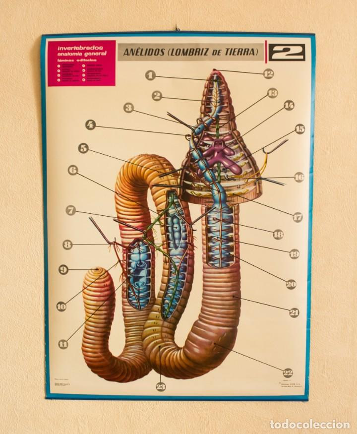 lámina invertebrados anatomía general. nº 2 ané - Comprar en ...