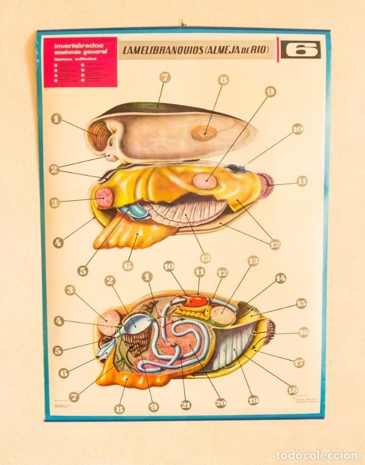 lámina invertebrados anatomía general. nº 6 lam - Comprar en ...