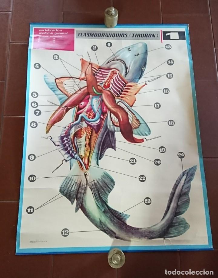 lámina jover anatomía tiburón 85x63 - Comprar en todocoleccion ...