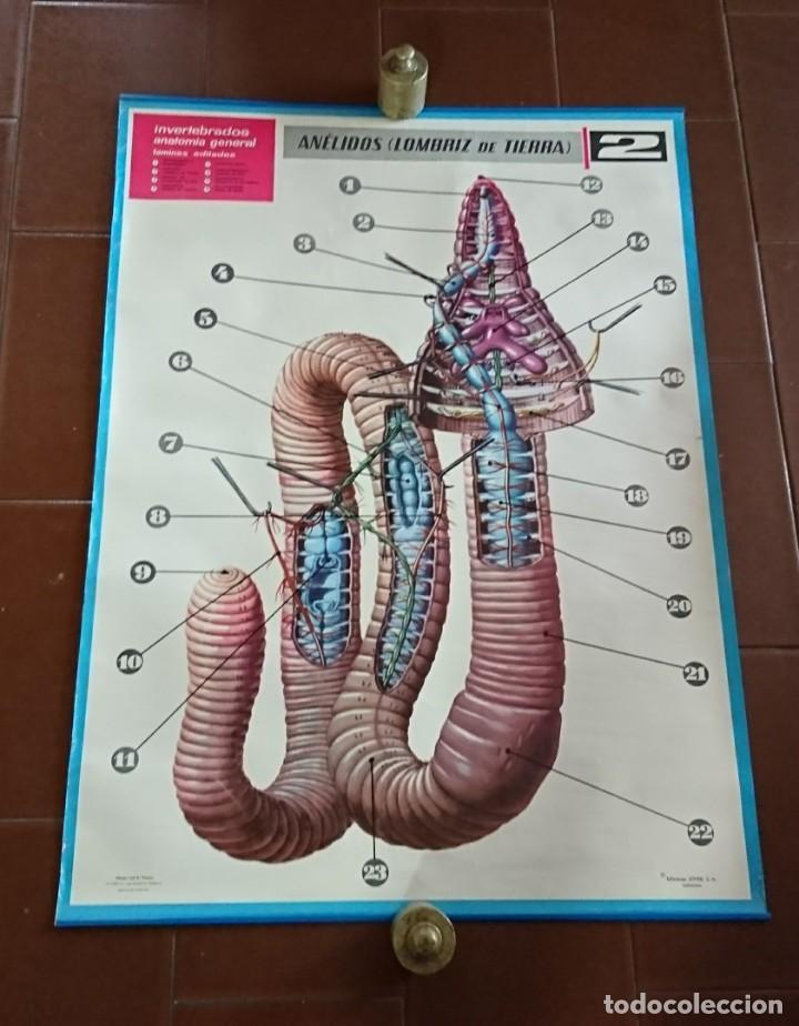 lámina jover anatomía anelidos, lombriz de tier - Comprar en ...