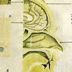 Carteles: MUY ANTIGUO Y AUTENTICO MURAL MÉDICO - MUSEO DE HIGIENE DE DRESDEN EN ALEMANIA - PINTADO A MANO. Lote 134660350