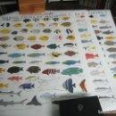 Carteles: SERIE COMPLETA 3 BELLAS LAMINAS CARTEL POSTER - FAUNA MARINA DE MALDIVAS OCEANO INDICO - PECES MAR. Lote 149395502