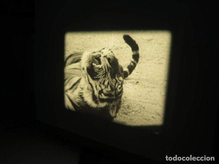 Cine: CLYDE BEATTYS-ANIMAL THRILLS, PELÍCULA 16MM-OLD MOVIE-RETRO - VINTAGE FILM - Foto 99 - 172203104