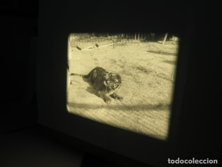 Cine: CLYDE BEATTYS-ANIMAL THRILLS, PELÍCULA 16MM-OLD MOVIE-RETRO - VINTAGE FILM - Foto 100 - 172203104