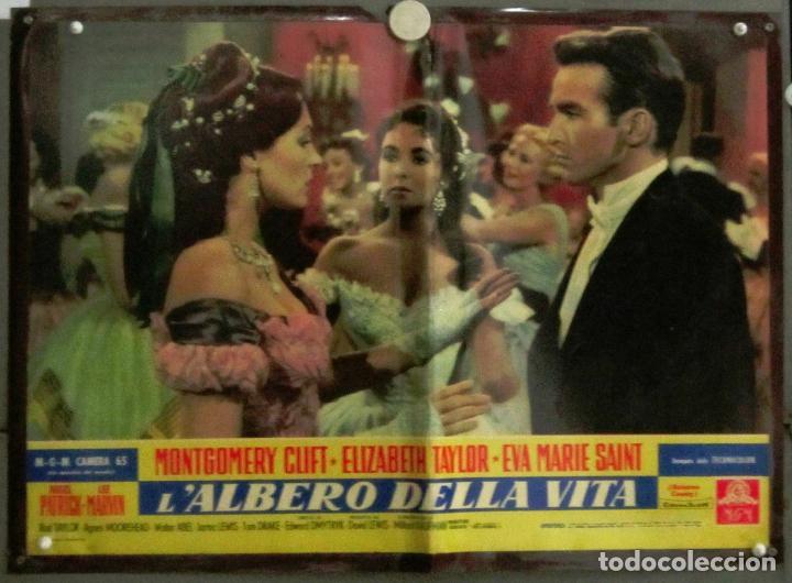 YJ39D EL ARBOL DE LA VIDA ELIZABETH TAYLOR MONTGOMERY CLIFT POSTER ORIGINAL ITALIAN 47X68 (Cine- Posters y Carteles - Drama)