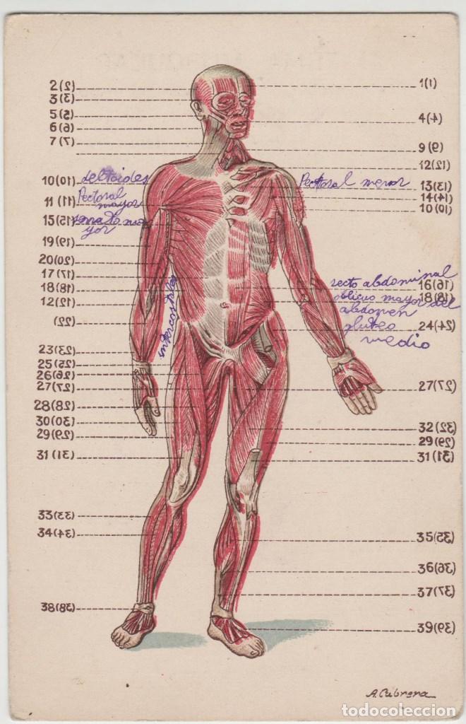 publicidad antigua anatomia sistema muscular - Comprar Coleccionismo ...