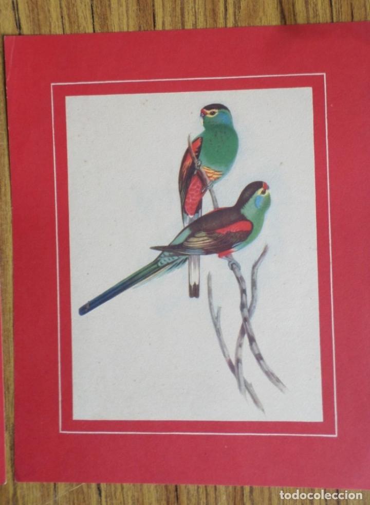 Coleccionismo de carteles: Laminas antiguas de loros - Foto 2 - 176215144