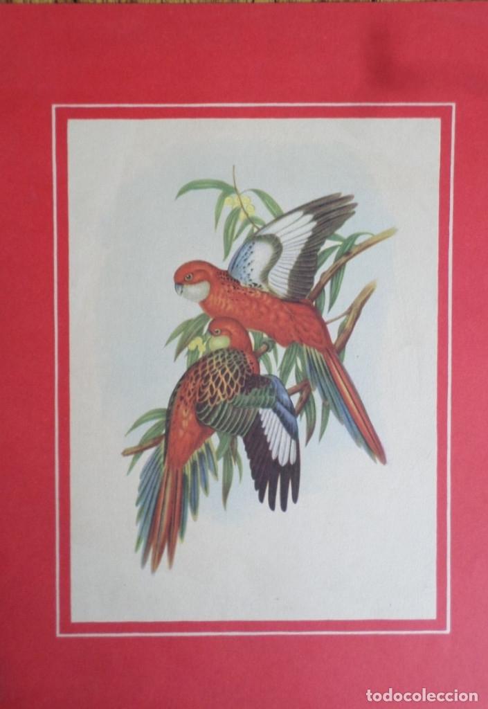 Coleccionismo de carteles: Laminas antiguas de loros - Foto 3 - 176215144