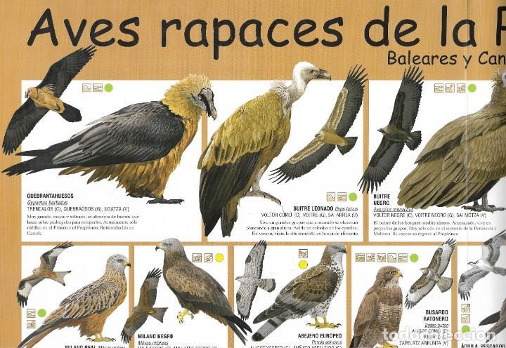 POSTER AVES RAPACES DE LA PENÍNSULA IBÉRICA (Coleccionismo - Carteles Pequeño Formato)