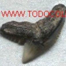 Coleccionismo de fósiles: DIENTE FOSIL DE TIBURON TIGRE. !!!. Lote 12317312