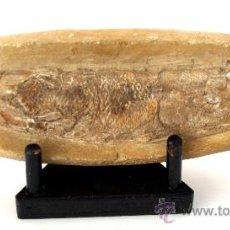 Coleccionismo de fósiles: ESPECTACULAR RHACOLEPIS FOSILIZADO - PERIODO CRETACEO - 110 MILLONES DE AÑOS. Lote 27225819