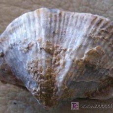 Coleccionismo de fósiles: FÓSIL DE SPIRIFER. Lote 26441115