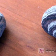 Coleccionismo de fósiles: 2 FOSILES DE GASTEROPODOS. Lote 26552432
