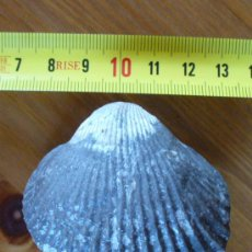 Coleccionismo de fósiles: FOSIL. Lote 26288237