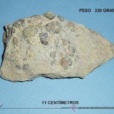 Coleccionismo de fósiles: PIEDRA FOSILÍFERA. FÓSILES A CLASIFICAR. LONGITUD MAYOR 11 CM. PESO 330 GRAMOS. Lote 26810328