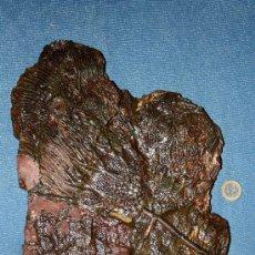 Coleccionismo de fósiles: FSCYEHOCRINITEF AFF. ELEGAN. Lote 27752473