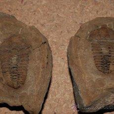 Coleccionismo de fósiles: FOSIL. Lote 27760610