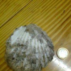 Coleccionismo de fósiles: CONCHA FOSILIZADA DE TAMAÑO MEDIO.. Lote 30818240