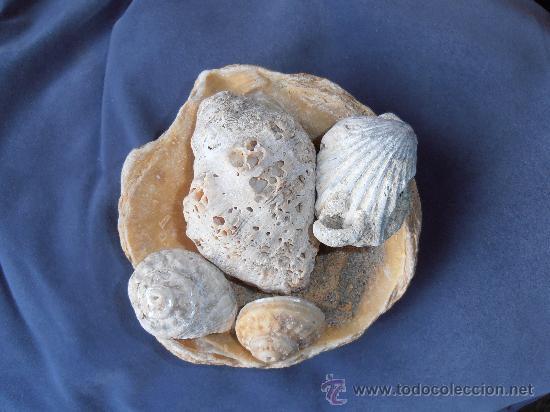 FOSILES DE CONCHAS Y CARACOLAS MARINAS (Coleccionismo - Fósiles)