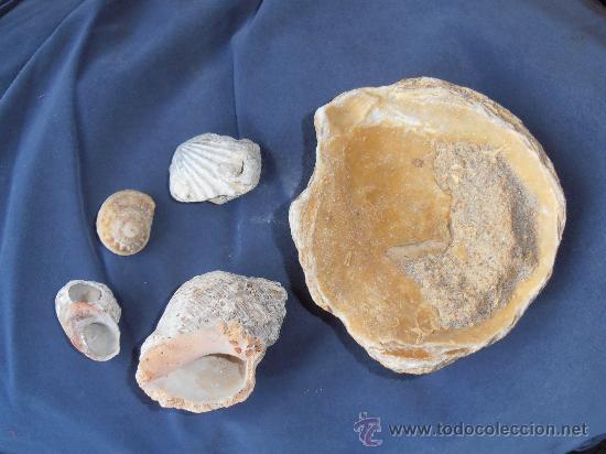 Coleccionismo de fósiles: FOSILES DE CONCHAS Y CARACOLAS MARINAS - Foto 2 - 31263440
