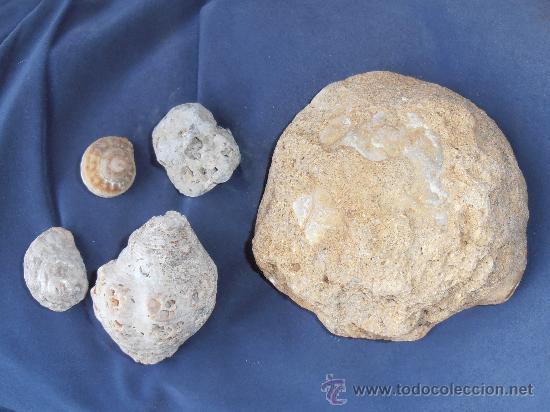 Coleccionismo de fósiles: FOSILES DE CONCHAS Y CARACOLAS MARINAS - Foto 3 - 31263440