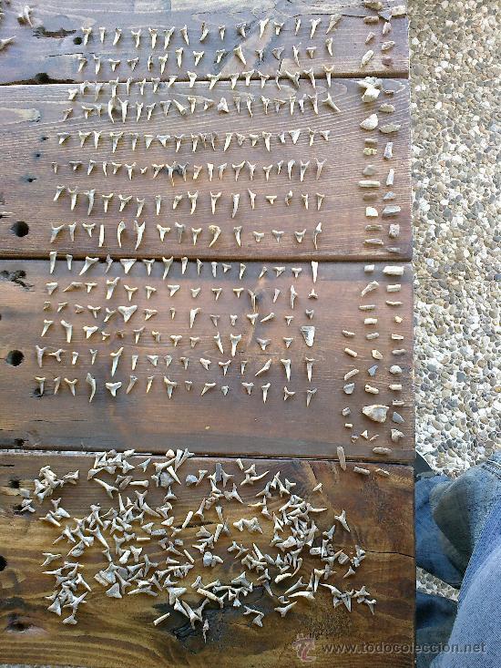 Coleccionismo de fósiles: fosiles de tiburon - Foto 2 - 32189292