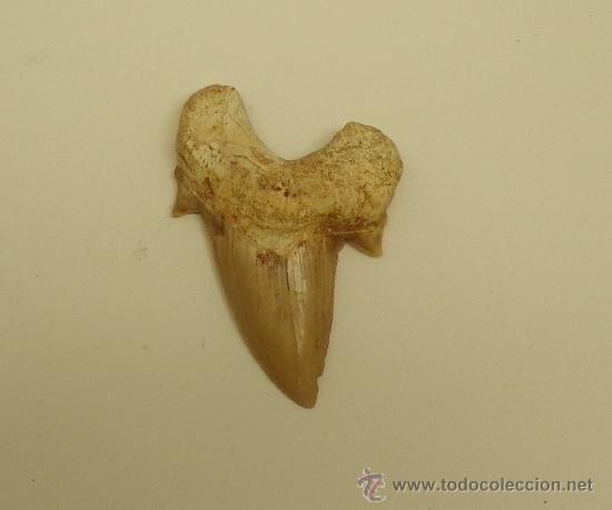 DIENTE DE TIBURÓN. OTODUS OBLIQUUS.PALEOCENO. (Coleccionismos - Fósiles)