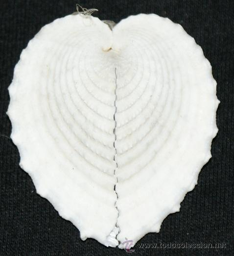 CONCHA (Coleccionismo - Fósiles)