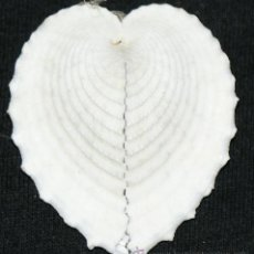 Coleccionismo de fósiles: CONCHA. Lote 32709806