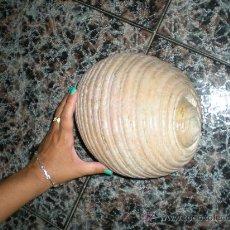 Coleccionismo de fósiles: PRECIOSA Y GRANDE CARACOLA DE MAR TROPICAL EN PEFECTO ESTADO. Lote 58906485