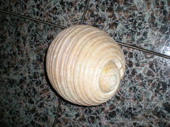 Coleccionismo de fósiles: preciosa y grande caracola de mar tropical en pefecto estado - Foto 2 - 58906485