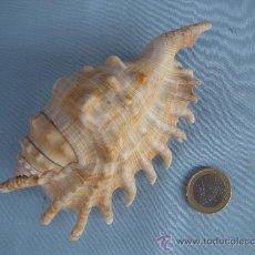 Coleccionismo de fósiles: CONCHA MARINA, CARACOLA.. Lote 34126415