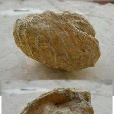 Coleccionismo de fósiles: BONITO Y RARO FÓSIL..........ZONA DE TARRAGONA. Lote 36429537