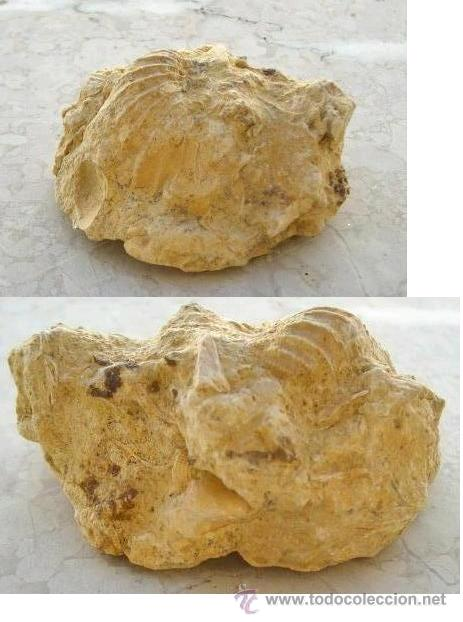 BONITO Y RARO FÓSIL..........ZONA DE TARRAGONA (Coleccionismo - Fósiles)
