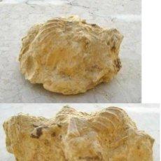 Coleccionismo de fósiles: BONITO Y RARO FÓSIL..........ZONA DE TARRAGONA. Lote 36429569