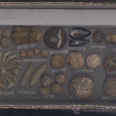 Coleccionismo de fósiles: COLECCION DE FOSILES. Lote 37005853