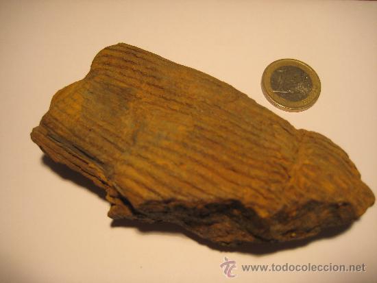 ZF-024- FOSIL DE CALAMITES (Coleccionismo - Fósiles)